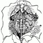 Male And Female Urinogenital System of Frog (Rana tigrina)